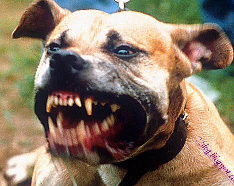 كلاب البيتبول اشرس العالم