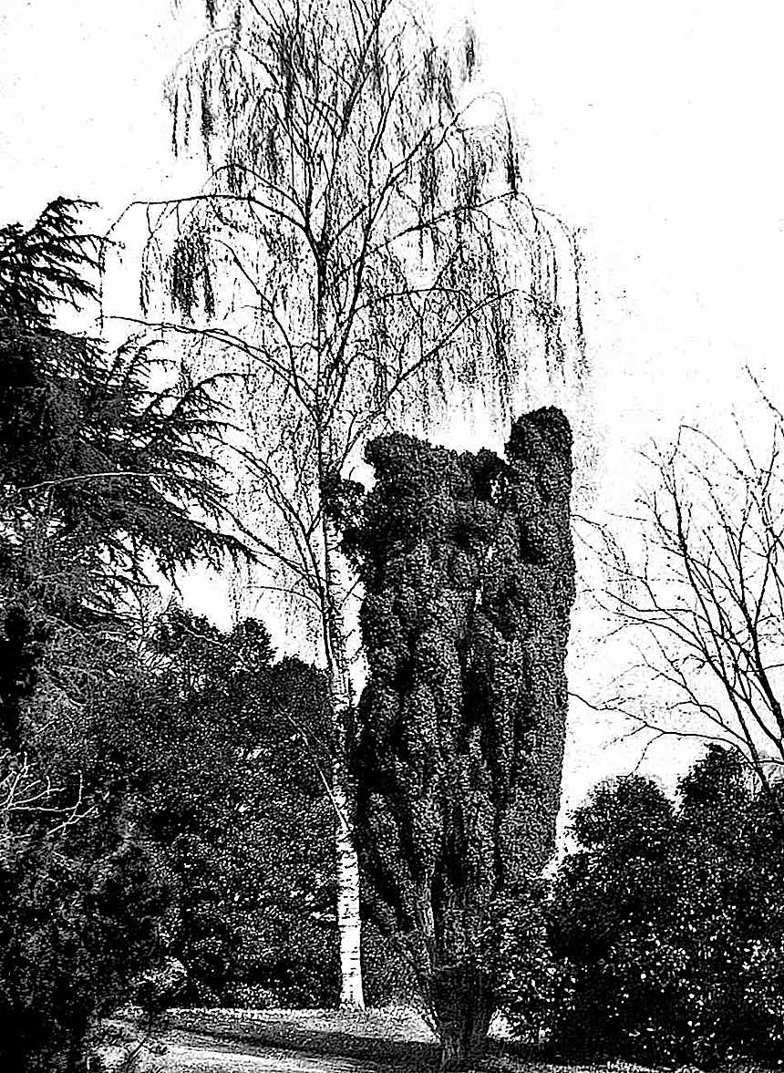 1913 privilaged trees, fancy trees photograph