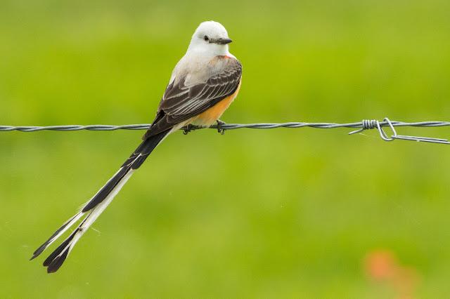 Scissor-Tailed Flycatcher, FM 879