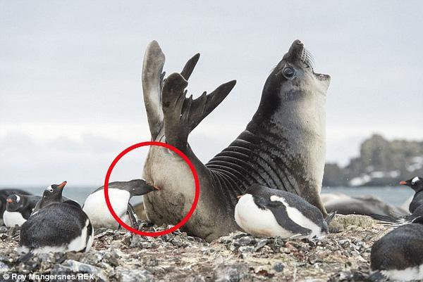 Hải tượng con khóc thét khi bị chim cánh cụt cắn đuôi