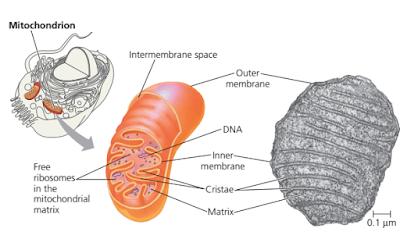 Mitokondria, bagian bagian mitokondria, Cristae mitokondria adalah, ruang intermembran mitokondria adalah, matrik (matrix) mitokondria adalah