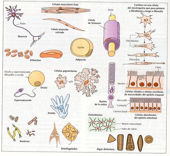 Top Ciencias entre los Álamos: ¿Cuantas células tiene tu cuerpo  TF88