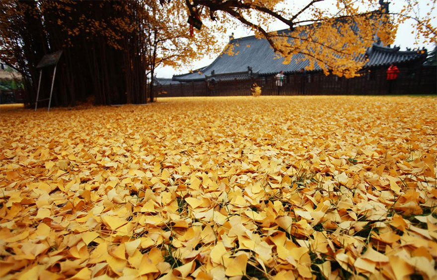 1,400-Year-Old Chinese Ginkgo Tree Drops Leaves That Drown Buddhist Temple In A Yellow Ocean