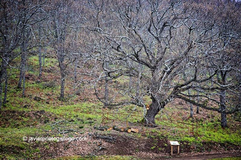 12/09/2007. Árbol Singular de La Solana. Roble de unos 300 años de edad. Localidad de Barrado. Valle del Jerte. Fiesta del Cerezo. Extremadura. España. © Javier Prieto Gallego