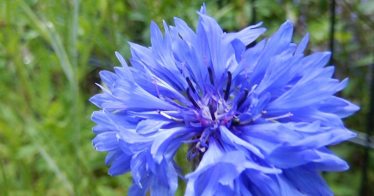 Novalis Blaue Blume