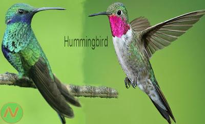 hummingbird, গুঞ্জন পাখি