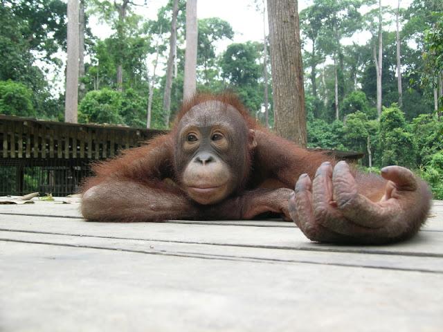 Orangutan al Sepilok Centre, Borneo