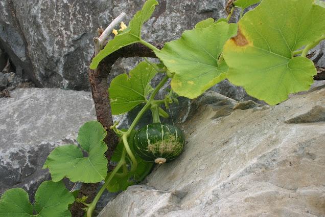 Vegetable garden: Buttercup Squash