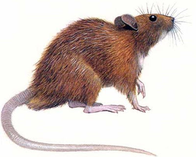 Dibujo de una rata de perfil a color