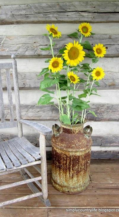 Kaleng bekas wadah susu perah (milk can) dimanfaatkan sebagai vas bunga matahari.