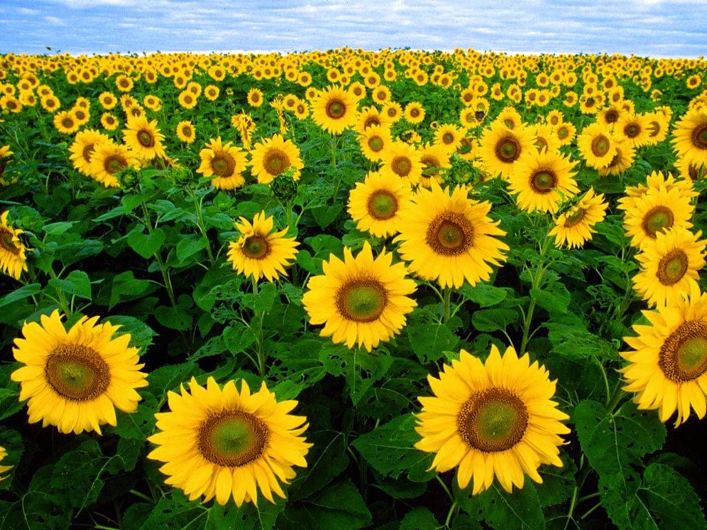 Bunga Matahari Bisa Dijadikan Sebagai Obat Alami