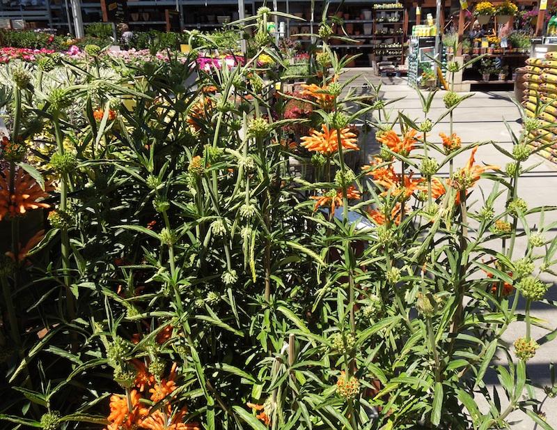 Barb 39 S Garden Observations Lion 39 S Tail A Perennial Summer Burst Of Orange