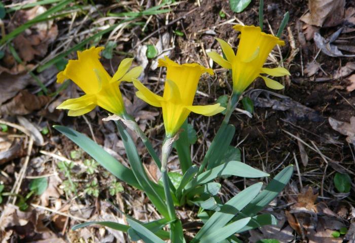 Narcissus eugeniae