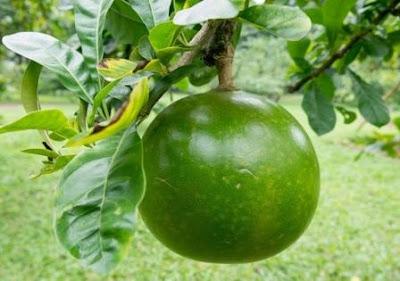 Nama buah berenuk mungkin masih terdengar abnormal di sebagian indera pendengaran masyarakat kita 16 Manfaat Buah Berenuk untuk Kesehatan yg Wajib Anda Ketahui