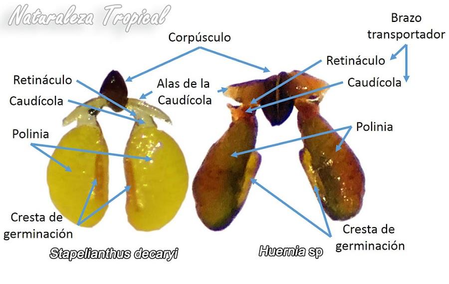 Polinias de dos especies de suculentas de la subtribu Stapeliinae. Estructuras señaladas
