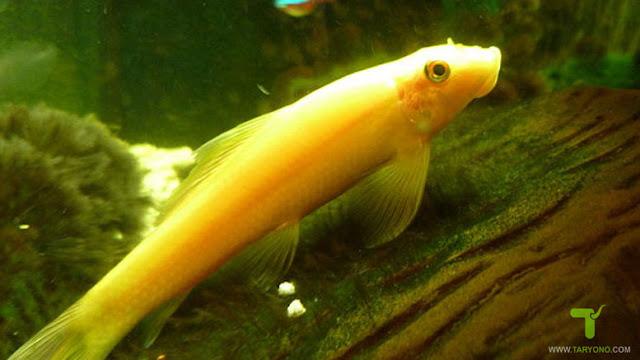 8 Jenis Ikan Pemakan Lumut untuk Aquascape