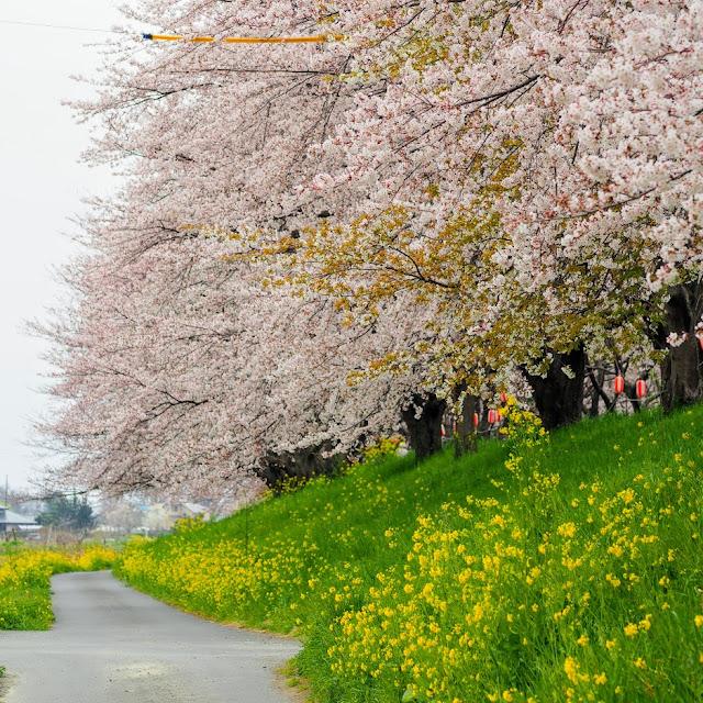 荒川自転車道 さくら堤公園 桜と菜の花