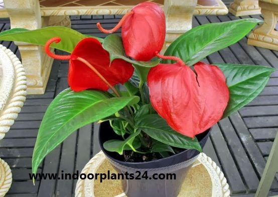Flamingo Flower - Anthurium scherzerianum - Picture