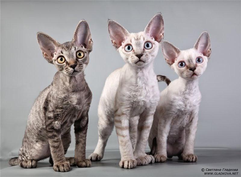 Полезные советы для любителей кошек породы девон-рекс   589x800