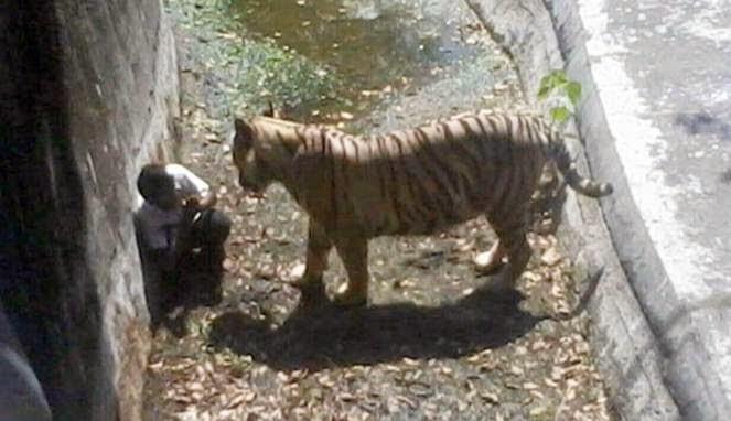 harimau putih bunuh pria India