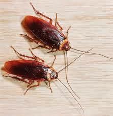 Hamamböcekleri, böcekler: üreme, görünüş nedenleri ve bunlarla mücadele yolları