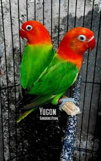 Harga Lovebird Biola Terbaru yang Mencapai 22 Juta