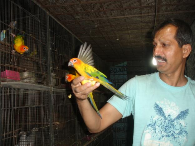 Tamed Sun Conure Parakeets For Sale