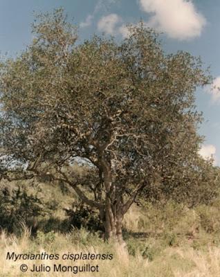 arboles de argentina mato