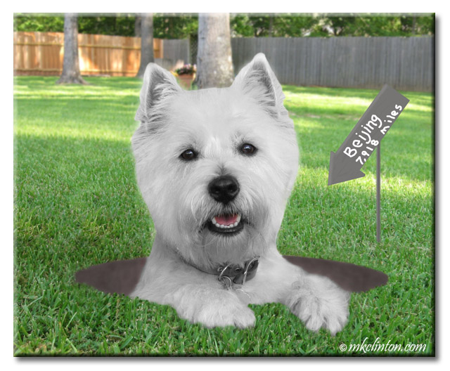 White West Highland Terrier is a hole with sign pointing to Beijing