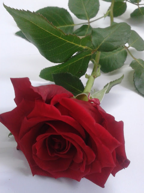 różą , czerwona