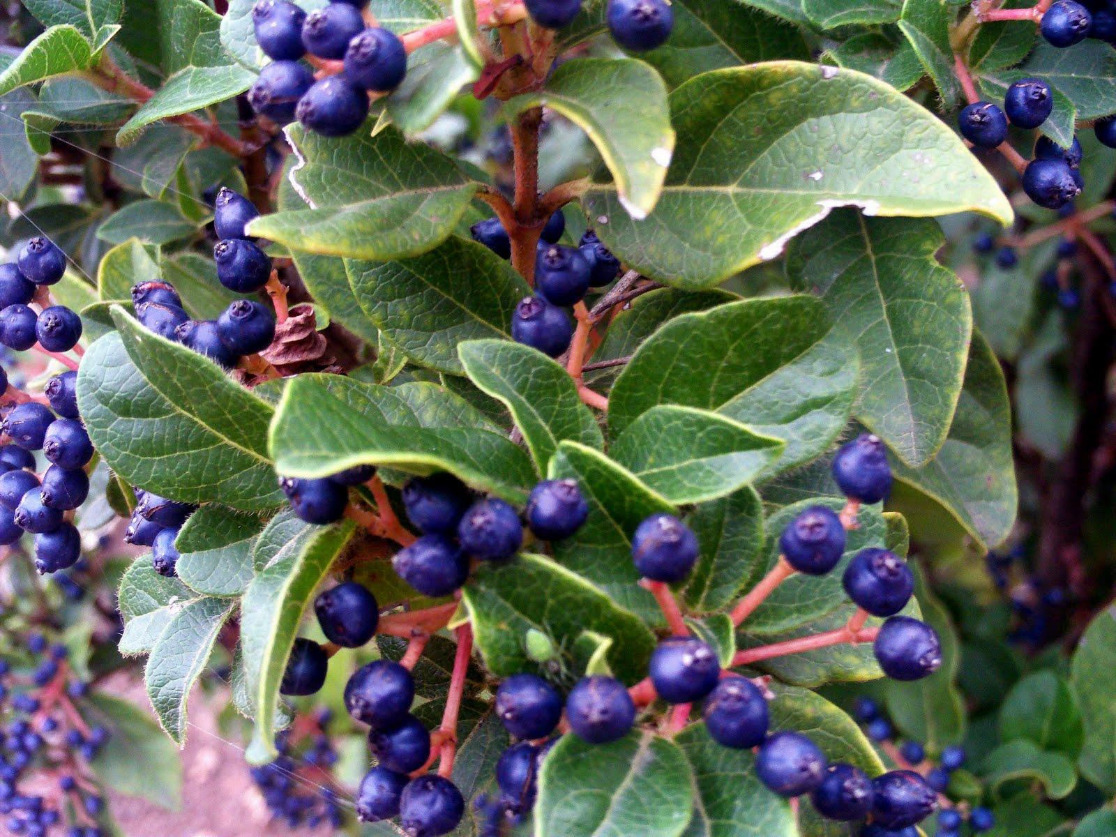 Noixlucoli onlus le piante del giardino della memoria il for Arbusti sempreverdi