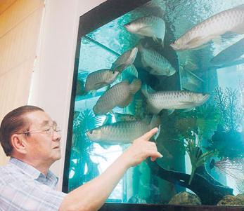 Cara Membedakan Ikan Arwana Jantan Dengan Betina