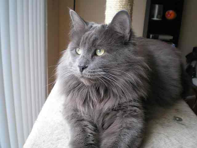 Funny One 15 Nebelung Breed Cat Photos Kitten Images And Kitty