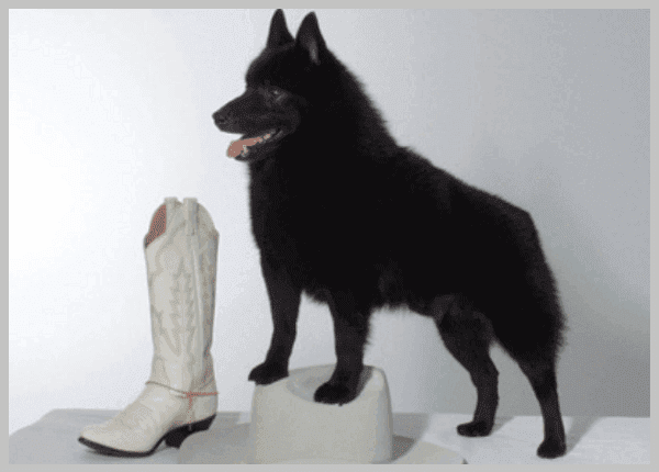 Belgian Shepherd Dog (Groenendael),breed,dog,dogs,clinical veterinary,healthy puppies ,dog breeds,Basenji,