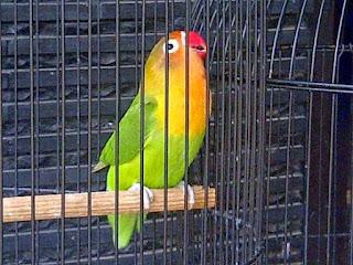 Burung Lovebird - Perawatan Pascakontes/lomba Burung Lovebird Agar Staminanya Pulih Kembali - Perawatan Burung Lovebird