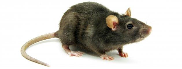 Mari Bersahabat Dengan Tikus Supaya Tanaman Kita Aman