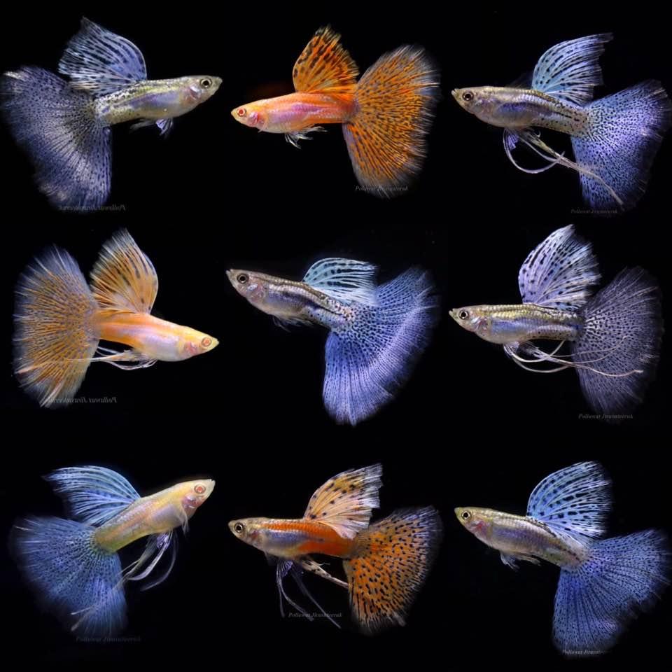 Cara Budidaya Ikan Hias Guppy   Sale Guppy Fish Indonesia