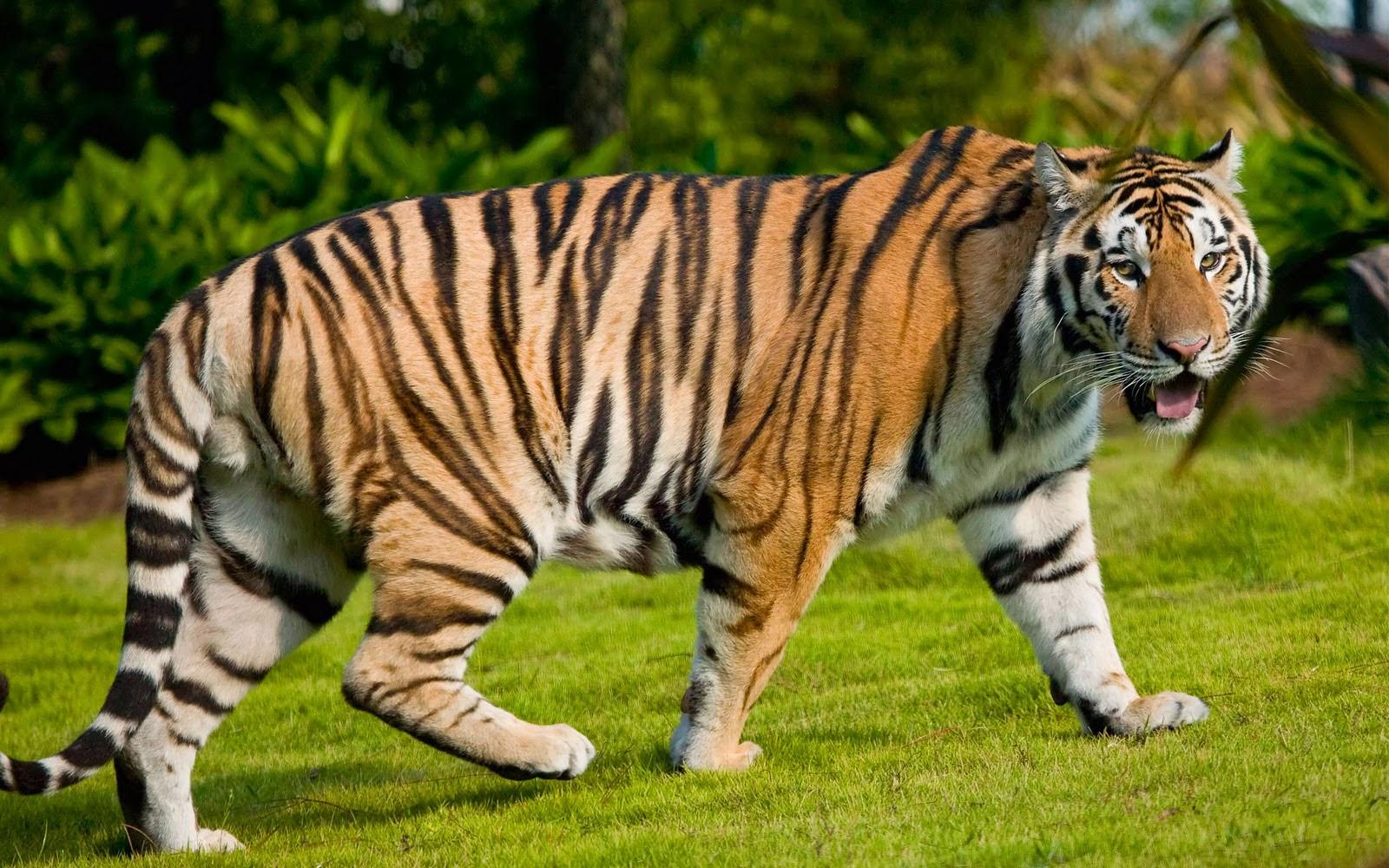 Hebat-Harimau-Berjalan-di-Rumput