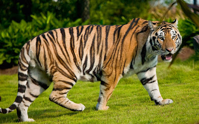 Terrific-Tiger-Walking-on-Grass