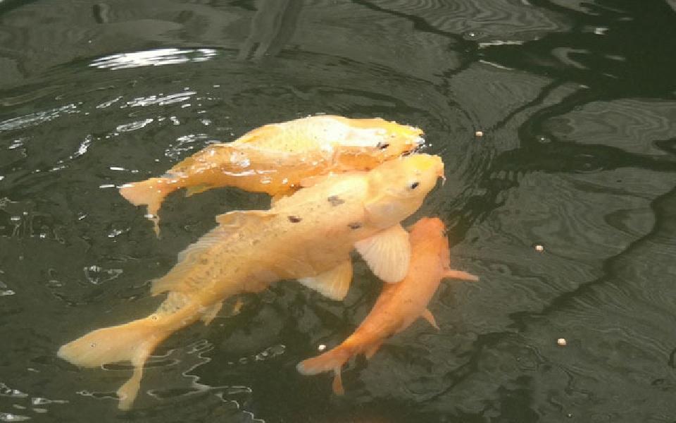 pemijahan ikan mas di kolam terpal