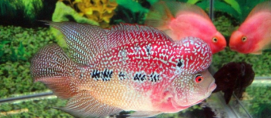 Tips dan Cara Merawat Ikan Louhan yang Baik dan Benar