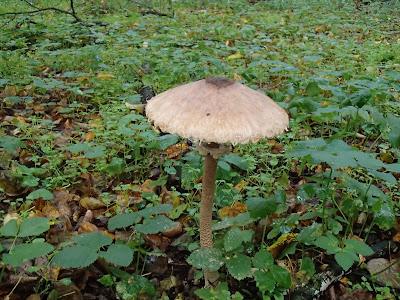 grzyby 2016, grzyby w październiku, grzyby w Puszczy Niepołomickiej, grzyby w okolicy Krakowa, jadalne czubajki, kanie, żółciak siarkowy, grzyby po deszczu