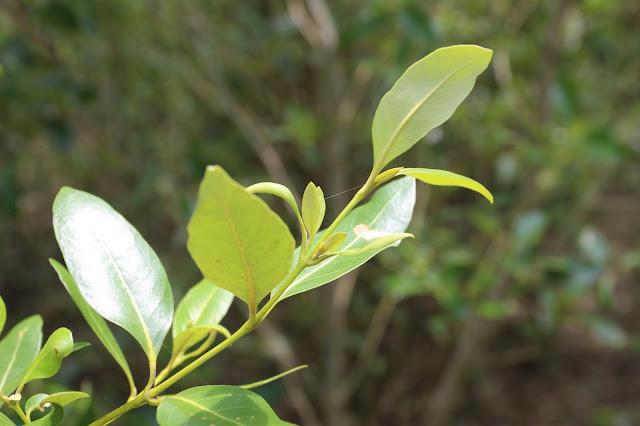 Potensi Mangrove sebagai Potensi Pariwisata Pesisir