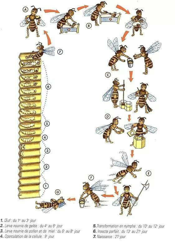 La Familia de la Apicultura - The Beekeeping of Family