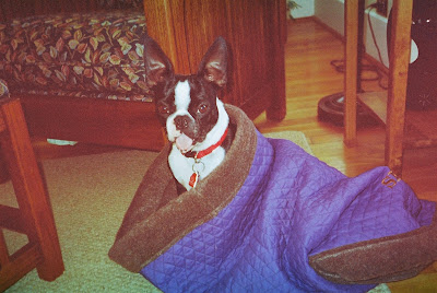 Seamus the Boston terrier in his bed