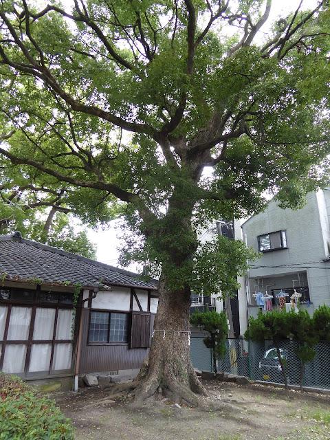 寝屋川市 神田天満宮 指定番号27番、樹高16.54m、幹周り3.06m、推定樹齢300年の大クス