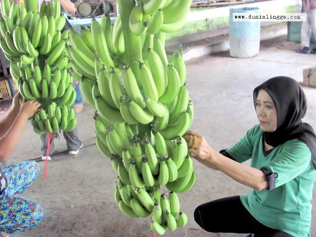 petani pekerja sedang membersihkan ujung pisang sunpride