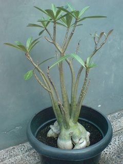 Jenis Adenium Arabicum