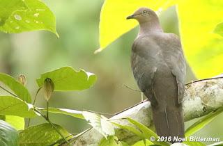 Plumbesou Pigeon