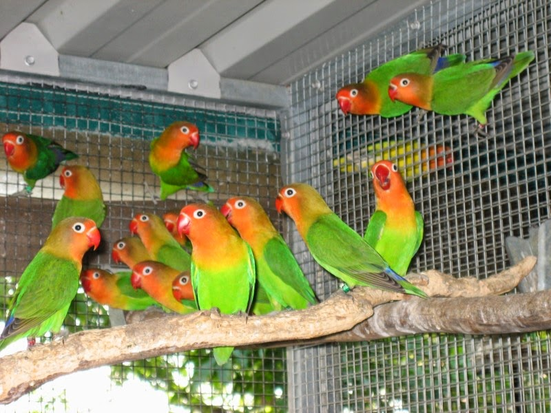 Ternak Lovebird Yang Baik